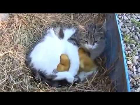 Tình Cảm Giữa Mèo Và Vịt Clip Cảm Động Về Tình Động Vật