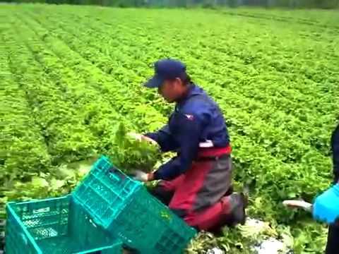 Thu hoạch rau ở Nhật