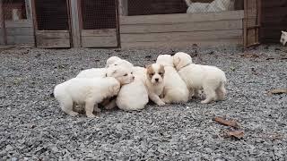 Милые малыши помет А  , щенки алабая ( купить щенка )