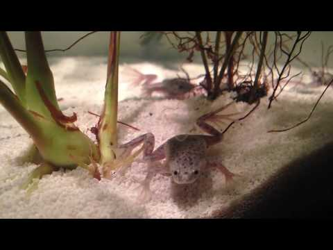 How To Feed African Dwarf Frogs