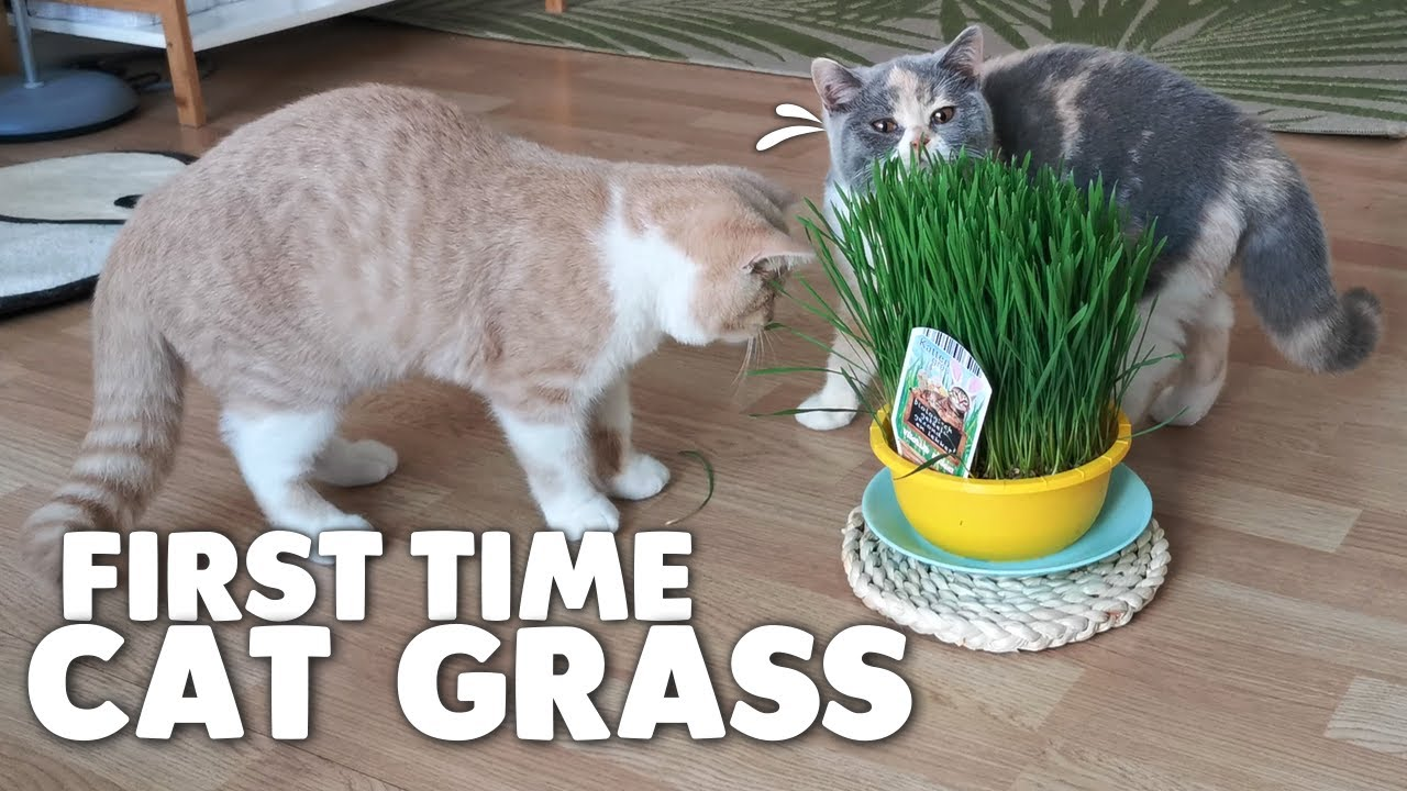 Kittens Try Cat Grass For The First Time!