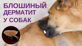 Блошиный дерматит(, 2012-10-10T17:00:19.000Z)