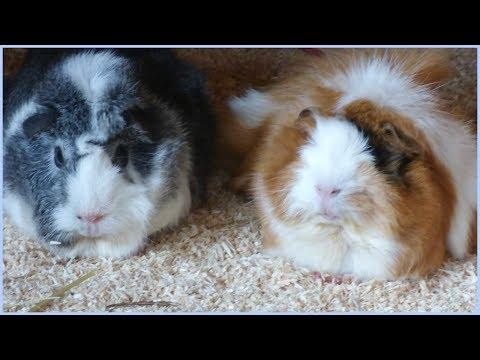Wheek-ly Vlog 72: 30kg of Hay for the Guinea Pigs & Cute Piggie Shots