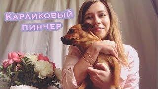 Карликовый пинчер. Наши собаки | Miniature Pinscher