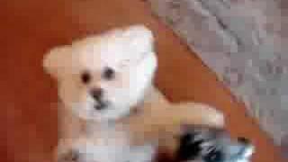 Pippa Miniature Schnauzer Mitzi Bichon Frise