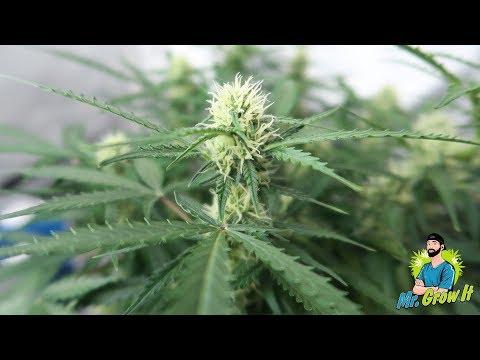 Cannabis Plants in Flowering Stage! - Weekly Grow Series Update