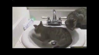 Кошки играют с водой в раковине!Видео приколы с кошками!