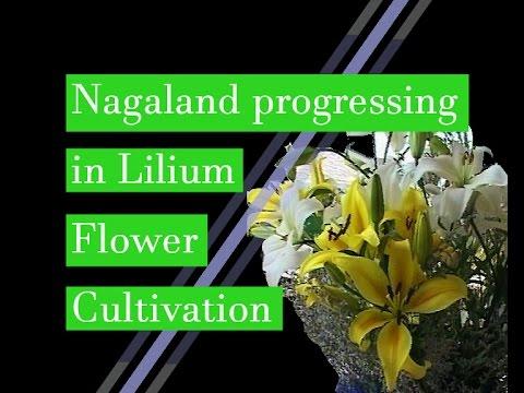 Nagaland progressing in Lilium flower Cultivation
