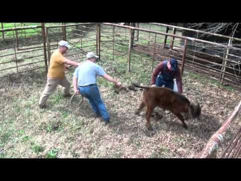How NOT to catch a cow! DRUNK REDNECK CATTLE ROPING!!