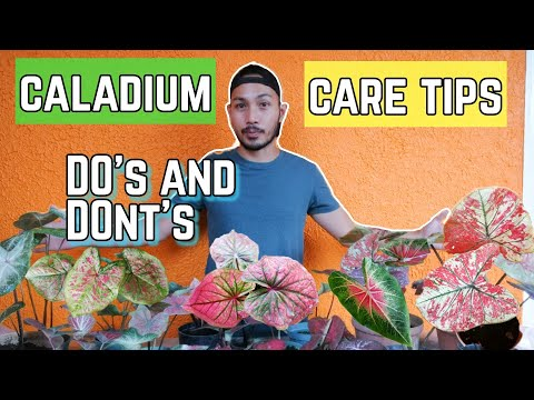 HOW TO TAKE CARE OF CALADIUMS