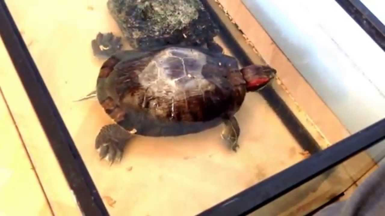 voil ma tortue de floride qui a mis 1 minute pour voir qu 39 elle avait manger youtube
