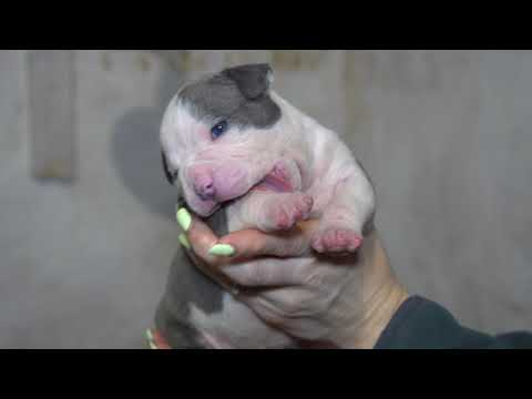 AMERICAN BULLY POCKET PUPPIES FOR SALE