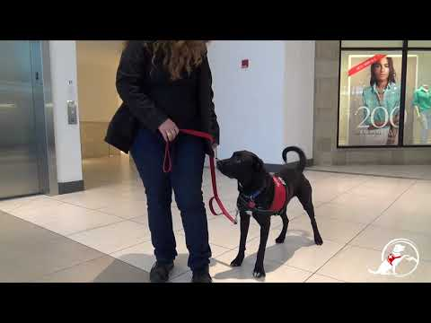 Service Dog training with Medical Mutts