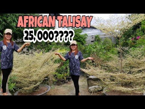 PAANO ALAGAAN ANG AFRICAN TALISAY MAGKANO ANG AFRICAN TALISAY AT PAANO ITO ALAGAAN OUTDOOR PLANT