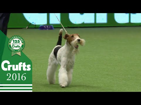 West Highland White Terrier wins the Terrier Group Judging | Crufts 2016