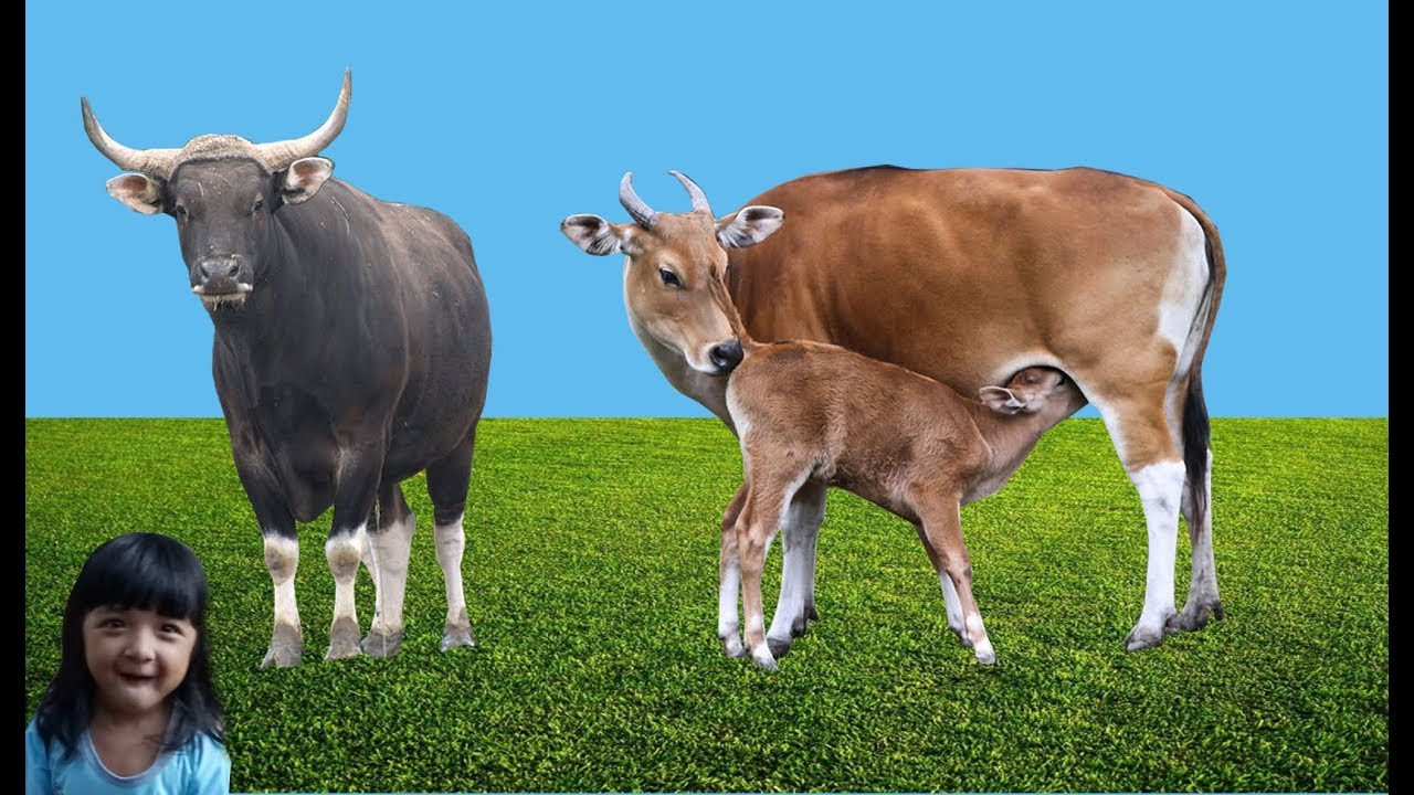 Binatang banteng belajar mengenal binatang buat anak ...