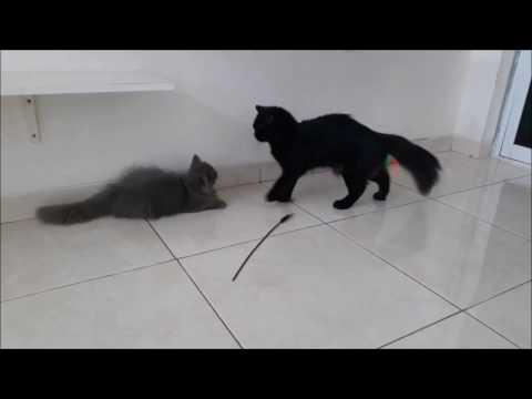 Pertama Kali Kucing Jantan Belajar Kawin