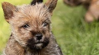 60 Seconds Of Cute Norwich Terrier Puppies!