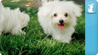 Puppy Love - Maltese