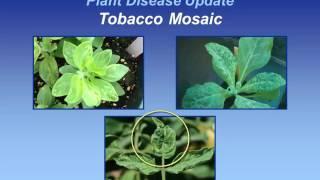 Tobacco Mosaic
