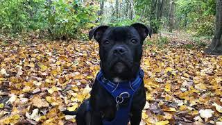 Going to the park   Odin the Staffordshire bull terrier
