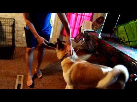 My Son Michael's American Akita Dog Kuma -- 4k With Music