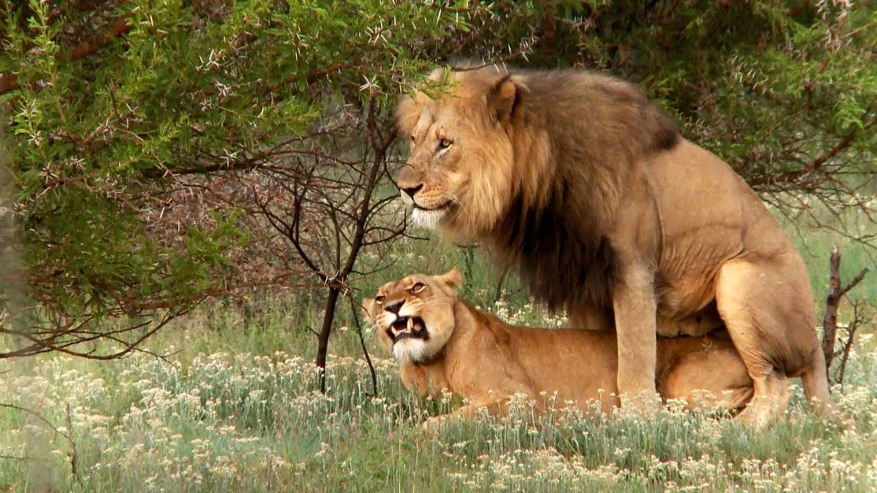 Lion Mating Ritual Up Close - Youtube-6000