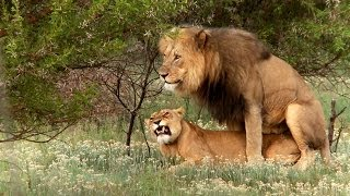 Repeat youtube video Lion mating ritual up close