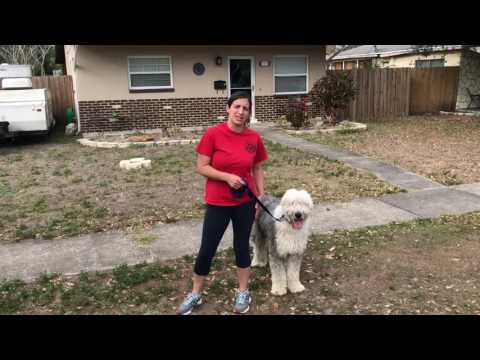 Teaching your dog to walk with a prong collar