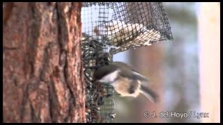 Сероголовая гаичка - Parus cinctus