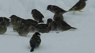 Feeding Birds In The Winter (tihased)