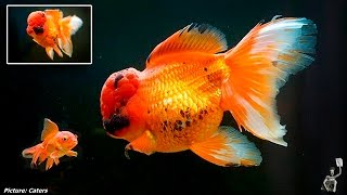 Is this Britain's biggest GOLDFISH? Red oranda weighs more than a bag of SUGAR