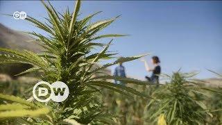 Lübnan kenevir üretimini yasallaştıracak - DW Türkçe