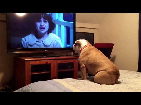Bulldog watching horror movie does the most unbelievable thing during a scary scene. INCREDIBLE!