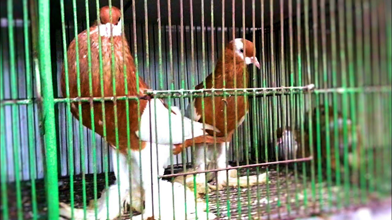 Largest Pigeon Market at Reazuddin Bazar, Chittagong