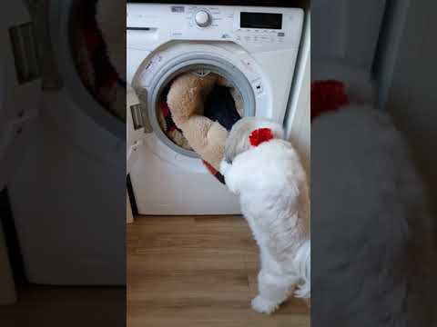 Wash day shih Tzu