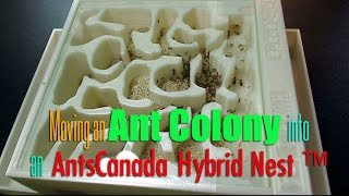 Moving an Ant Colony into an AntsCanada Hybrid Nest ™