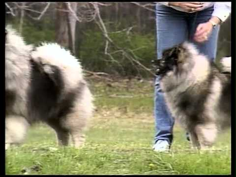 Keeshond - AKC Dog Breed Series