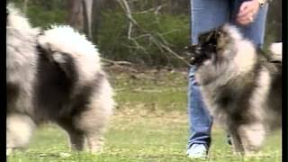 Keeshond  AKC Dog Breed Series