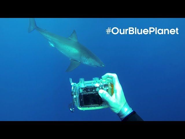 The Man Who Swims Towards Sharks |  #OurBluePlanet | BBC Earth