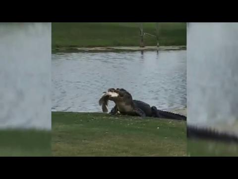 Alligator Eats Fish on Golf Course