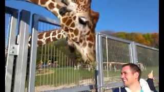karmienie żyrafy , mała i duża żyrafa w Chorzowskim zoo