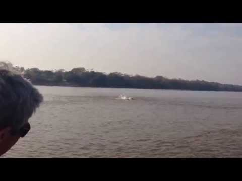 Boto atacando cardume de curimba - Rio Araguaia - Luiz Alves - GO - Brasil