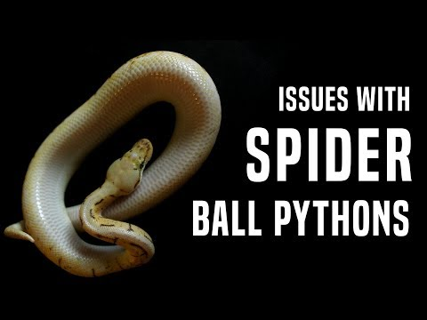 Spider Ball Python: Why it Needs to STOP (Neurological Issues)