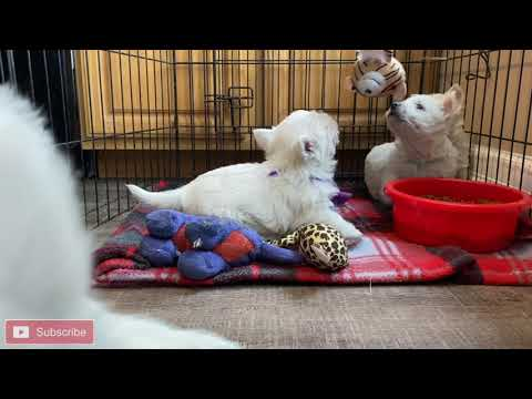 West Highland White Terrier Bailey's Puppies