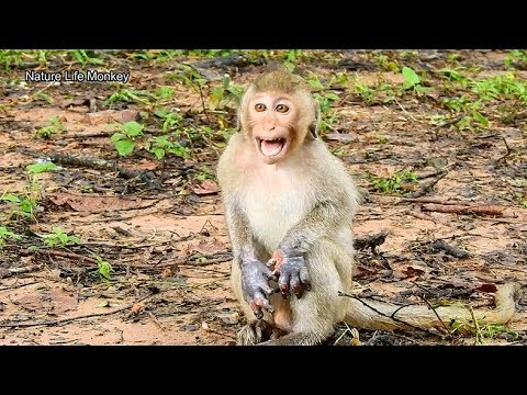 Poor Janet Call Mom Help Scare Big Monkey,So Worry Rain Make Janet Wound Wet Not Heal#364