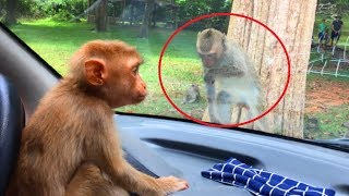 Very Happy Seeing! Rose is Fee and Staying With Pigtail, Rose Crying When Seeing Pigtail Monkeys