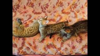 бенгальские котята в Москве.