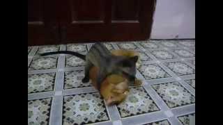 Weasel VS Cat