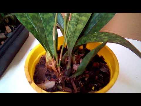 Falando sobre o cultivo da orquídea oeceoclades maculata e sobre críticas.